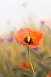 Poppy Stock Photos