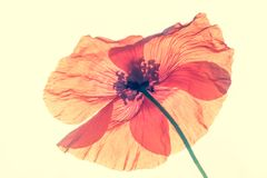 Poppy. Close up of red poppy flower Stock Photos