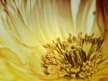Poppy close-up Stock Photo