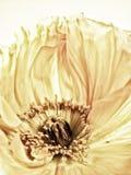 Poppy close-up (146) Royalty Free Stock Photo