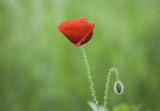 Poppy close-up with shallow DOF Stock Photography
