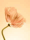 Poppy close up (151) Stock Images