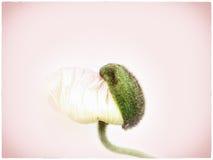 Poppy close up (144) Stock Photo
