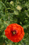 Poppy Closeup Stock Image