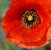 Poppy Closeup Stock Photo