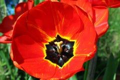 Poppy,closeup of a beautiful poppy stock photo