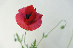 Poppy. A closeup poppy with blurred background Royalty Free Stock Photo