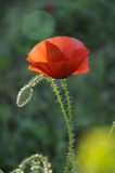 Poppy. A closeup poppy with blurred green background Royalty Free Stock Photos