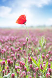 Poppy on clovers field Stock Images