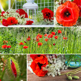 Poppy collage Stock Images