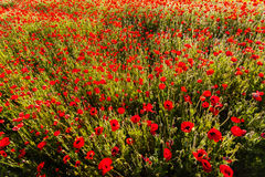 Poppy colored  field Stock Photos