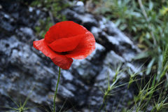 Poppy. Contrast poppy in the spring in a beam Royalty Free Stock Photography