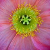 Poppy core Stock Photography
