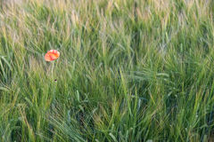 Poppy in a Corn Field Royalty Free Stock Images