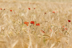 Poppy in a corn field Stock Photography