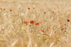 Poppy in a corn field Stock Photography
