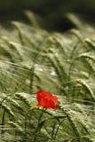Poppy in a cornfield. Poppy in a wheat field in summer Royalty Free Stock Photos