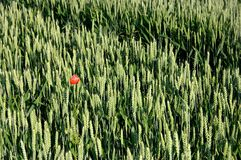 Poppy in a cornfield. Red poppy in a green cornfield Royalty Free Stock Photo