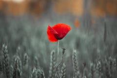 Poppy in cornfield royalty free stock photo