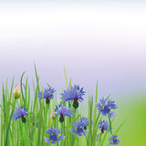Poppy Cornflower Stock Images