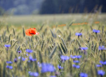 Poppy and Cornflowers. A shining red field poppy in a rye field with blue Cornflowers royalty free stock photo