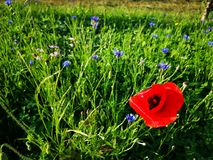 Poppy and cornflowers on field. Sunlight in the breeze and green fresh grass stock photos