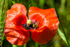 Poppy and cricket Royalty Free Stock Image