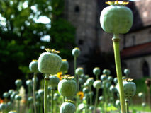 Poppy crown caps. Capsules of poppies in a monastery garden Royalty Free Stock Image