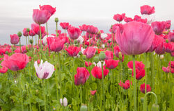 Poppy cultivation in the Netherlands Royalty Free Stock Images