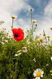 Poppy and daisies Stock Photography