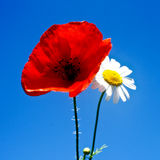 Poppy and daisy Stock Photography