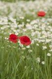 Poppy and daisy field Royalty Free Stock Image