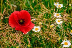 Poppy and daisy flowers background. Big red poppy among white daisy flowers on green grassy background Royalty Free Stock Images