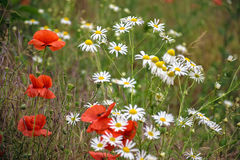 Poppy and daisy flowers background. Poppy and daisy flowers on the meadow background Stock Image