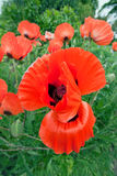 Poppy dancer - papaver orientale Stock Image