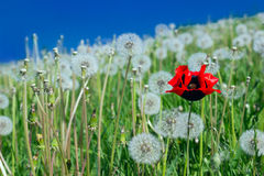 Poppy in dandelions field. Lonely poppy in dandelions field stock images