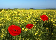 Poppy Delight Stock Images