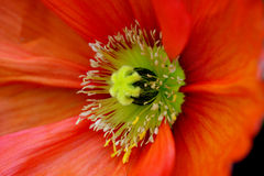 Poppy Detail. Macro of bold orange California poppy plant Stock Photos