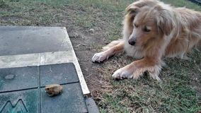 Poppy Dog Welcomes Frog? Imagens de Stock