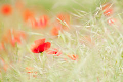Poppy dream Stock Photos