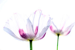 Poppy Drops Royalty Free Stock Images