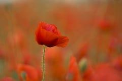 poppy dziki Zdjęcia Stock