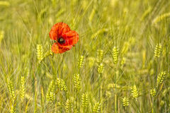 Poppy in a ear of wheat field detail Stock Images
