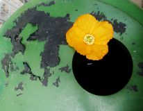 Poppy on the edge of a water barrel Royalty Free Stock Photography