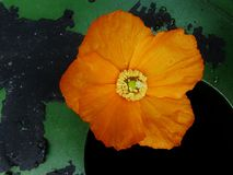 Poppy on the edge of a water barrel Royalty Free Stock Photos