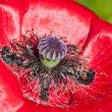 Poppy Embrace Royalty Free Stock Image