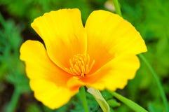 poppy eschscholzia kalifornii californica Fotografia Stock