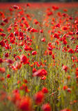Poppy föpwers and rye field.GN Royalty Free Stock Images