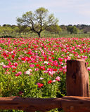 Poppy farming. Field of poppies at Wildseeds flower farm in Fredericksburg, Texas Stock Images