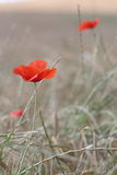 Poppy feald Stock Photos